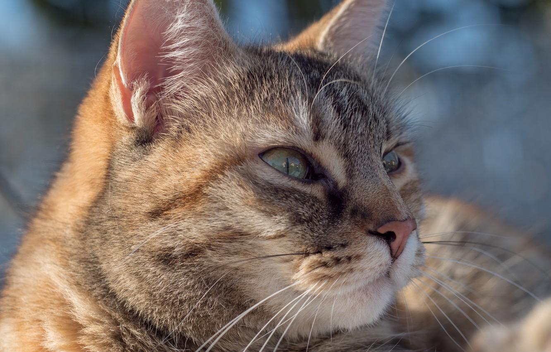Фото обои кошка, кот, портрет, мордочка
