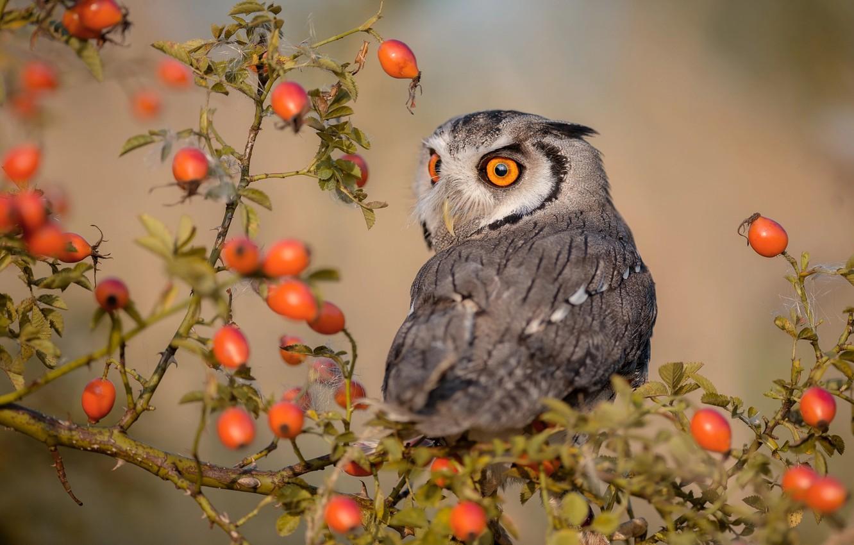 Фото обои ягоды, сова, птица, куст, ветка, шиповник