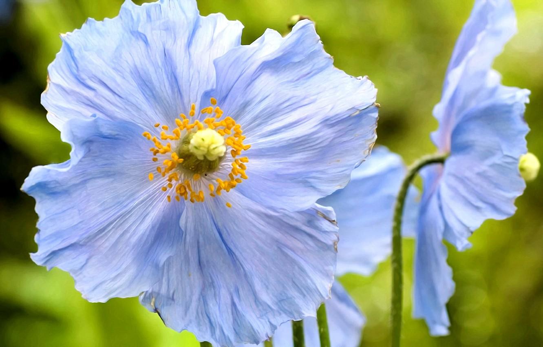Фото обои лето, цветы, фон, лепестки, тычинки, голубые маки
