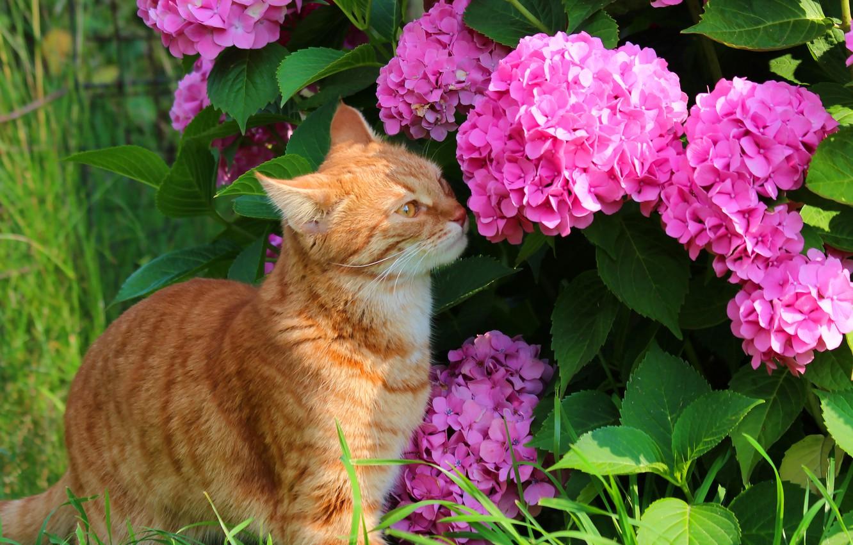 Фото обои лето, кот, кошки, природа, гортензия, дача, рыжий кот, стёпка, степан