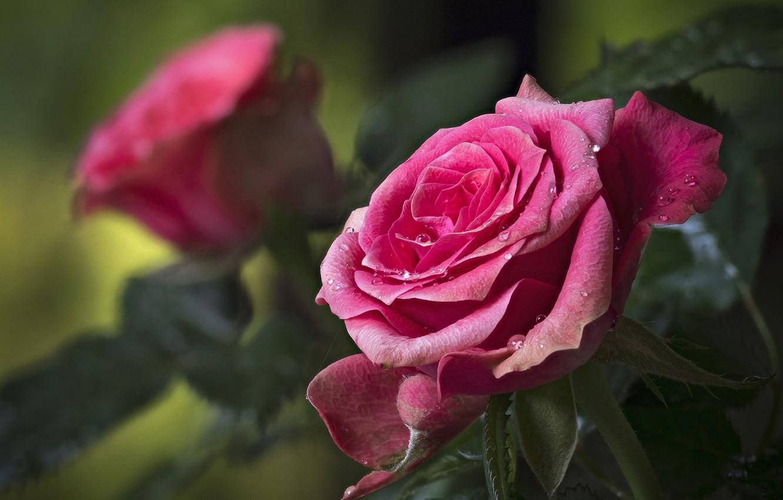 Фото обои капли, макро, роза, лепестки, бутон, боке