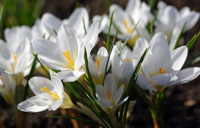 Фото обои макро, радость, цветы, природа, нежность, красота, растения, весна, крокусы, первоцветы, дача, флора, белый цвет, шафран, …
