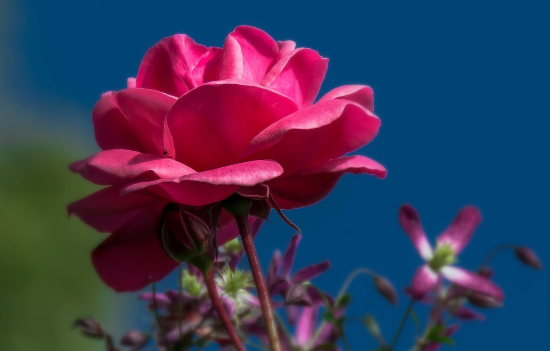 Фото обои цветок, небо, фон, роза, бутон