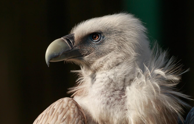 Фото обои птица, орел, клюв, bird, гриф, eagle, neck, beak