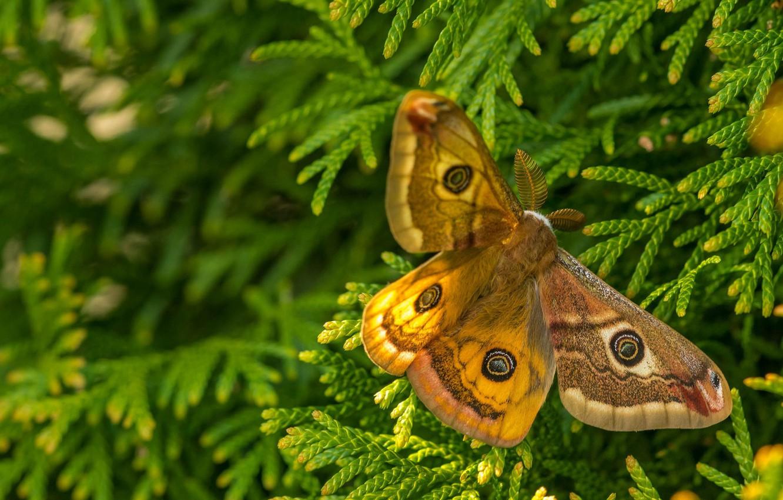 Фото обои макро, ветки, бабочка, Павлиноглазка рыжая