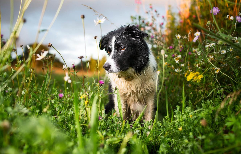 Фото обои лето, природа, собака