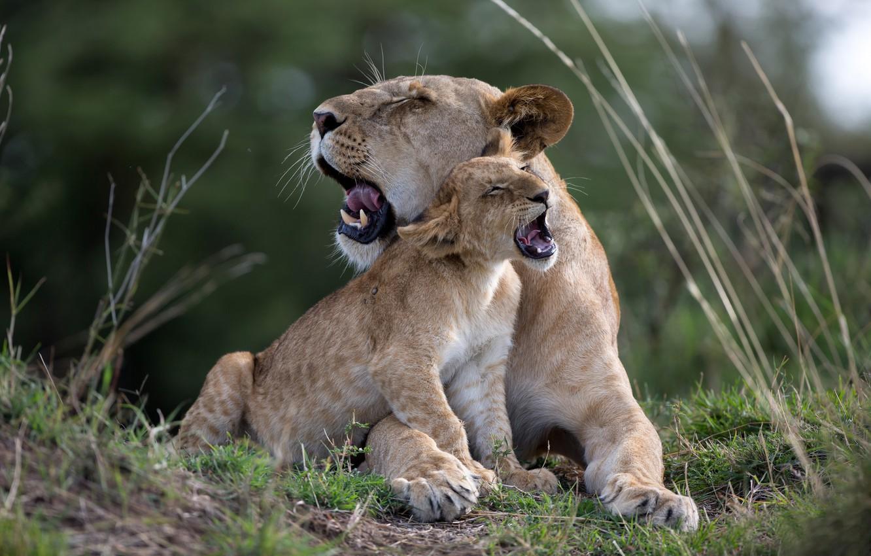 целью парень картинки лев львица львята виды цветов