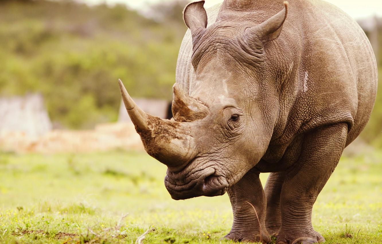 Обои носороги. Животные foto 7