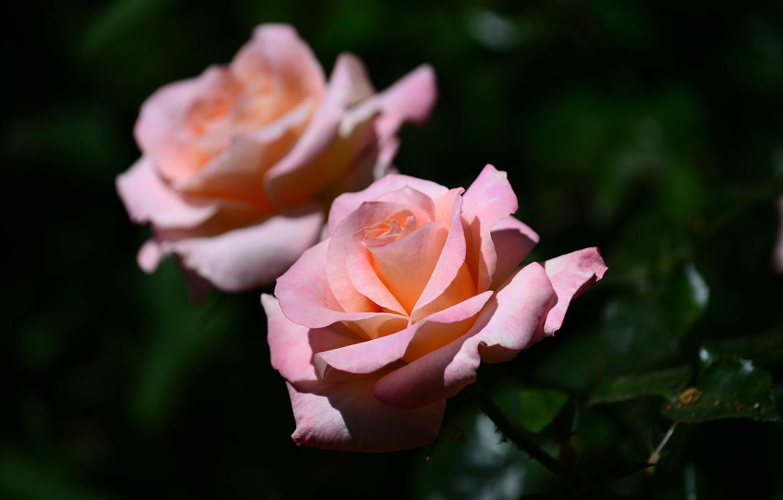 Фото обои макро, фон, розы, бутоны
