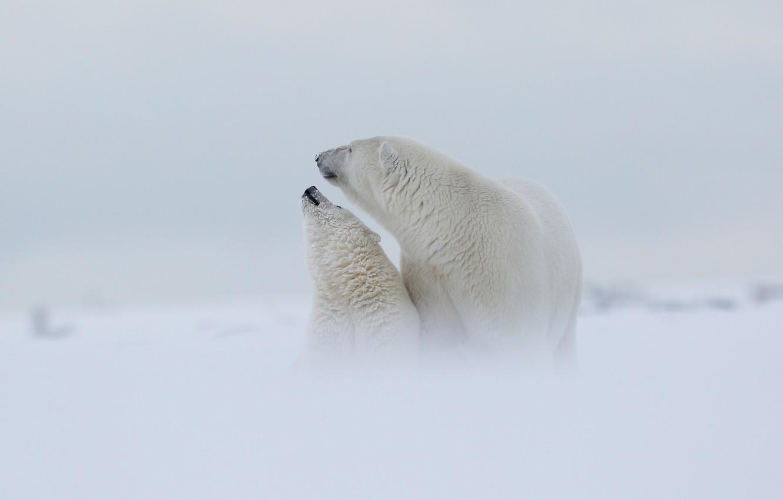 Фото обои зима, белый, небо, снег, любовь, природа, туман, фон, настроение, медведь, семья, медведи, дымка, белая, медвежонок, …