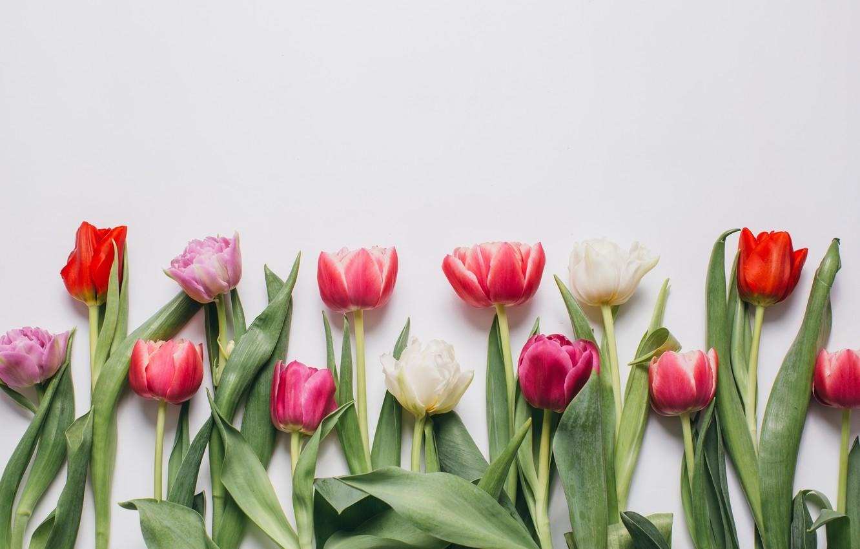 Фото обои цветы, colorful, тюльпаны, розовые, white, белые, fresh, pink, flowers, beautiful, tulips, spring, purple, tender