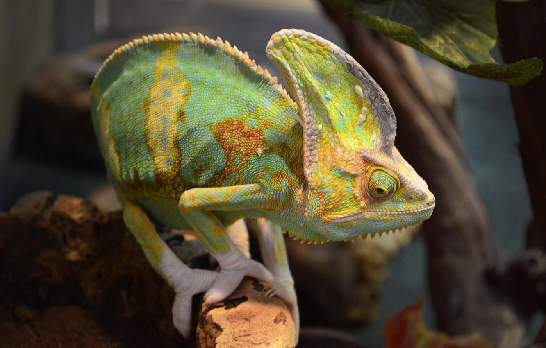 Фото обои животные, ящерица, экзотика, террариум, пресмыкающиеся, йеменский хамелеон