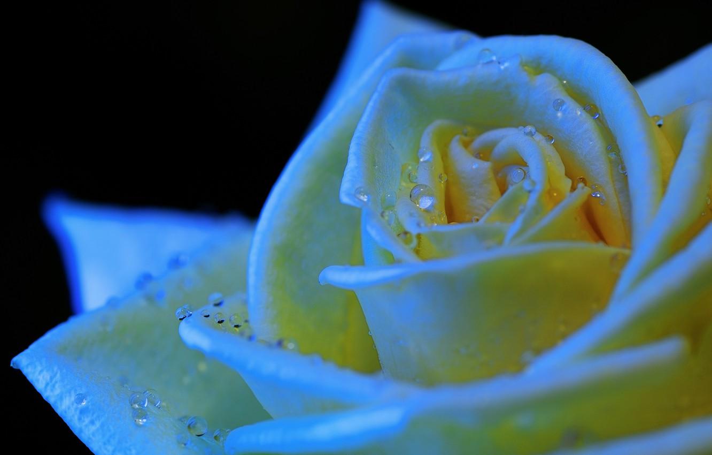 Фото обои цветок, капли, роса, роза, лепестки