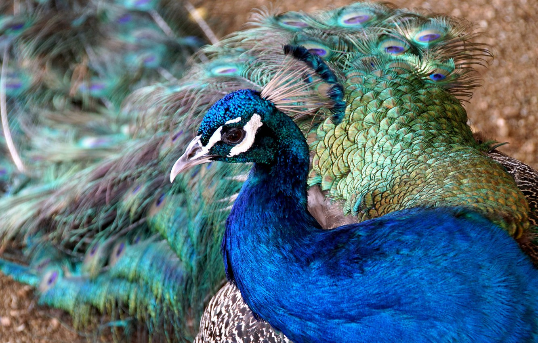 Фото обои цвета, павлин, окрас, перышки