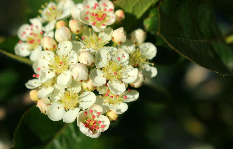 Фото обои красота, весна, цветение, белые цветы