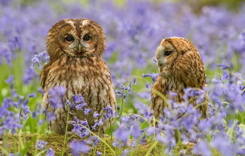 Фото обои цветы, природа, пара, совы