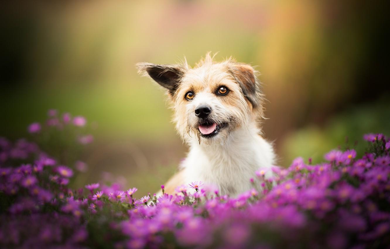 Фото обои цветы, собака, боке, пёсик