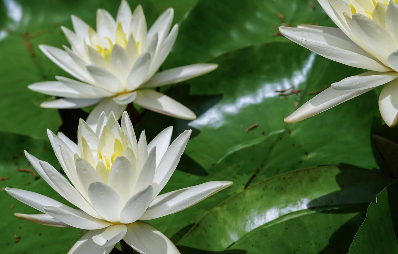 Фото обои лето, природа, цветение, кувшинки