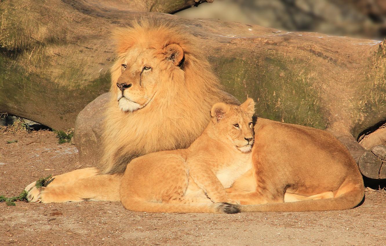 выбрасывайте картинки лев львица львята течение