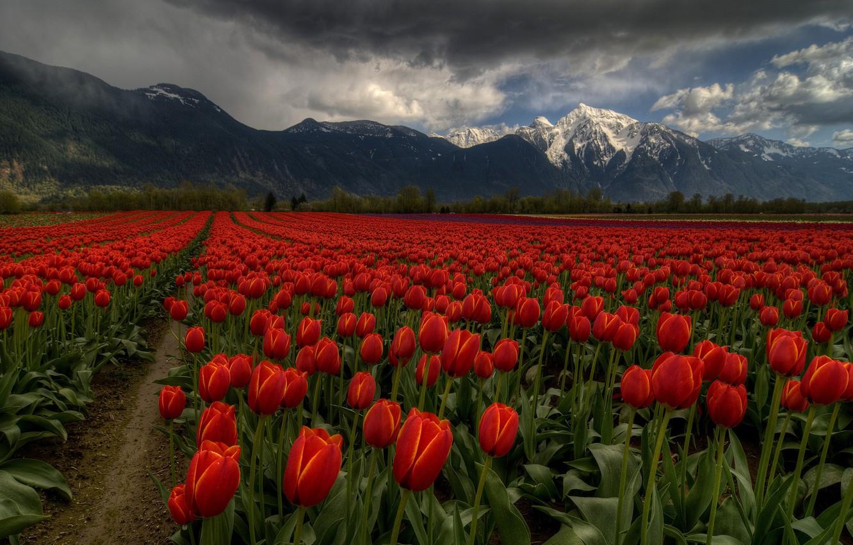 Фото обои поле, небо, облака, цветы, горы, тучи, тюльпаны