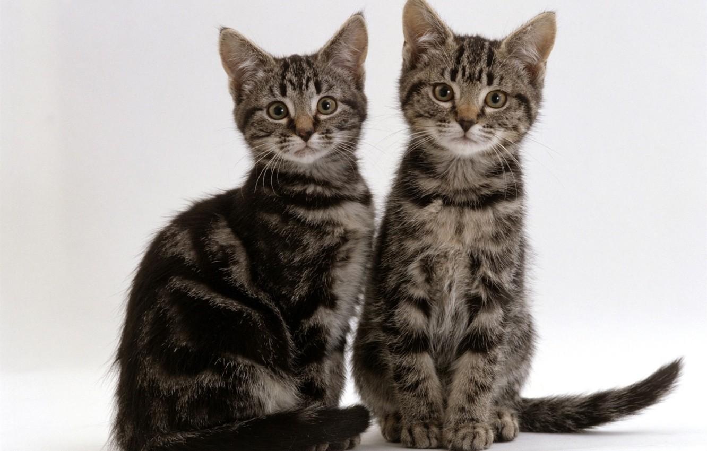 Фото обои котята, серые, дуэт