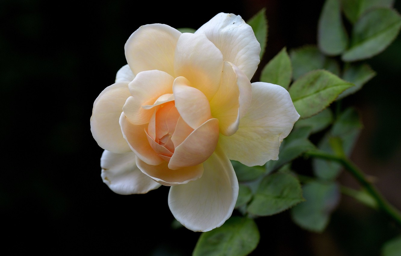 Фото обои цветок, фон, роза, бутон