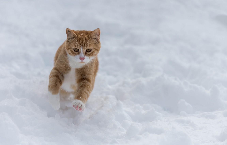 Фото обои зима, кот, снег, прогулка, рыжий кот, пробежка