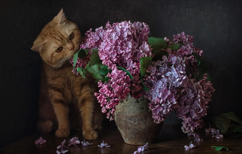 Фото обои букет, сирень, рыжий кот, котейка