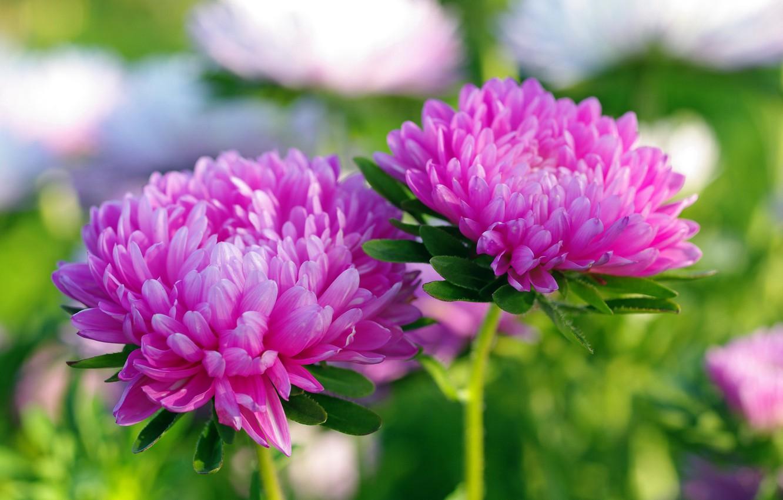 Фото обои осень, цветы, природа, красота, растения, сентябрь, дача, флора, розовый цвет, астры, однолетники