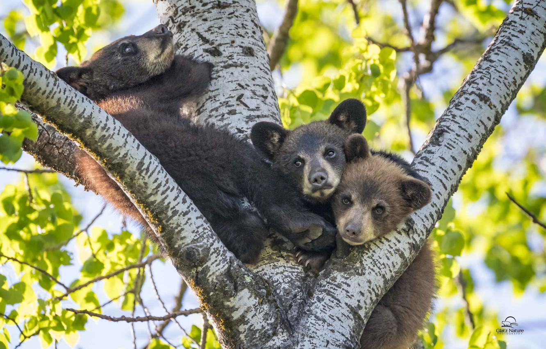 Фото обои дерево, малыши, медвежата, трио, Барибал