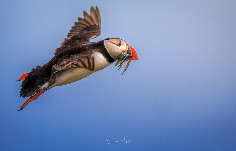 Фото обои птица, рыба, полёт, Puffin, улов, Тупик