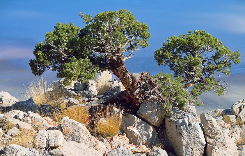 афиширует дерево растущее в камне фото грозный вид