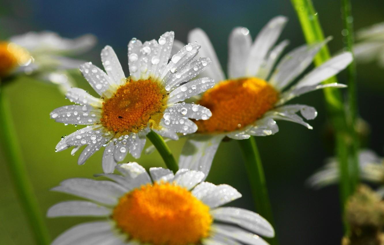 Фото обои капли, цветы, роса, лепестки, ромашка