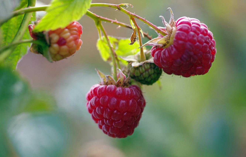 Фото обои осень, природа, ягоды, малина, красота, позитив, урожай, сладко, десерт, сентябрь, дача, лакомство, услада