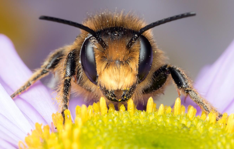 Обои насекомое, цветок, пчела. Макро foto 11