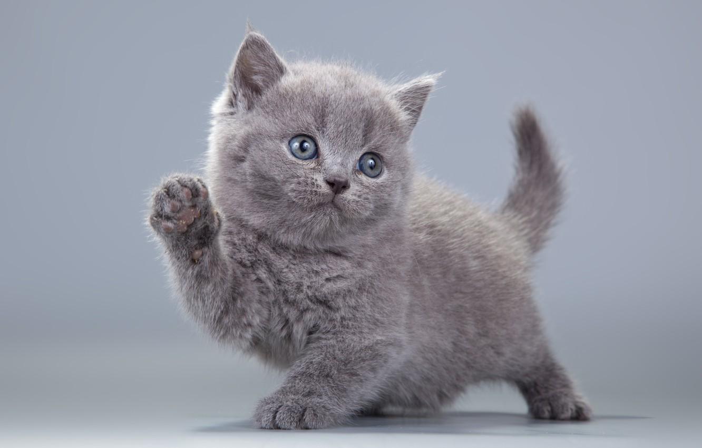 Фото обои котенок, серый, пушистик