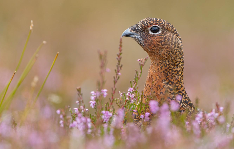 Фото обои поле, трава, цветы, птица, куропатка, вереск, природа .