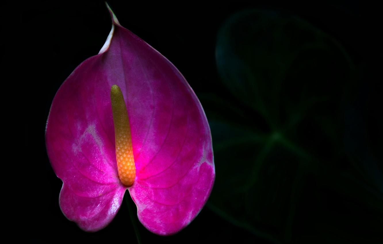 Фото обои цветок, фон, краски, антуриум, Цветок фламинго