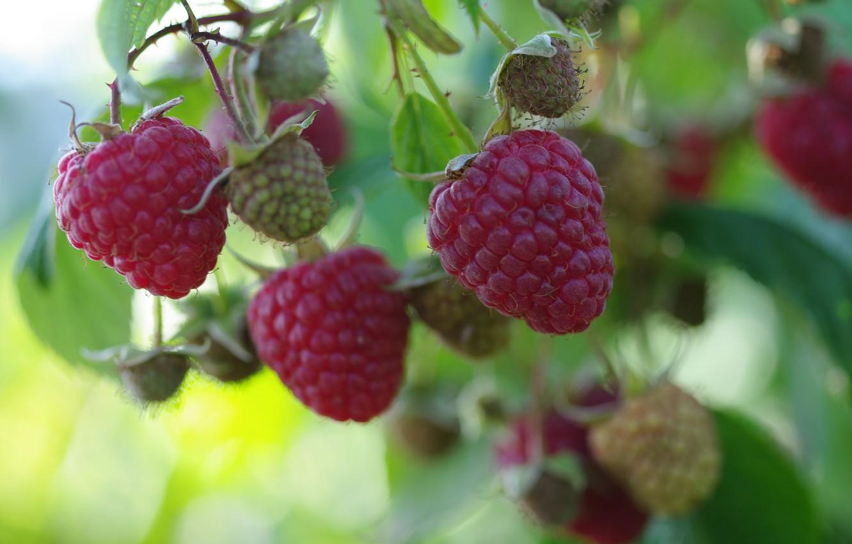 Фото обои осень, природа, ягоды, малина, красота, позитив, урожай, сладко, сентябрь, лакомство, услада
