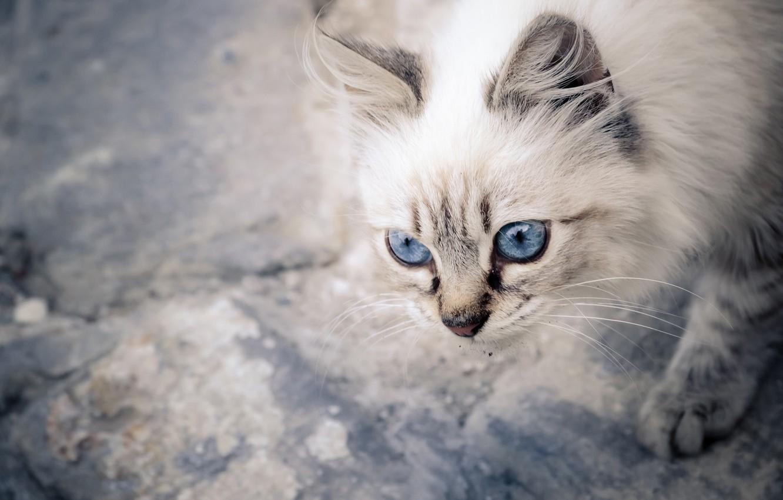 Обои котёнок, голубые глазки, мордочка. Кошки foto 9
