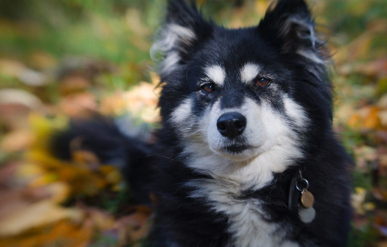 Обои Собака, Финский лаппхунд, морда. Собаки foto 13