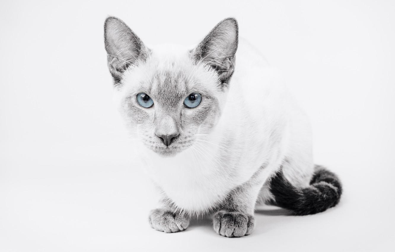 Фото обои кошка, взгляд, фон, портрет, голубые глаза, монохром, Тайская кошка