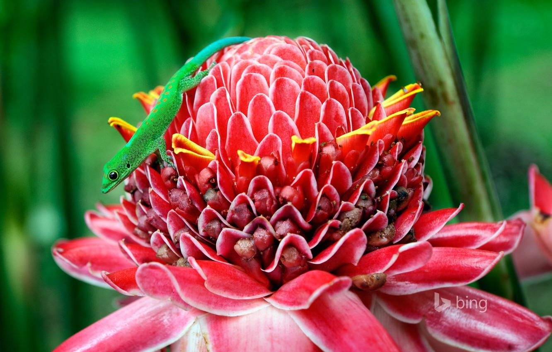 Фото обои цветок, макро, ящерица, геккон, этлингера высокая