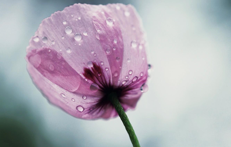 Фото обои цветок, капли, лепестки
