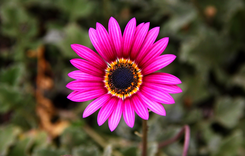 Фото обои природа, краски, лепестки, стебель, Остеоспермум