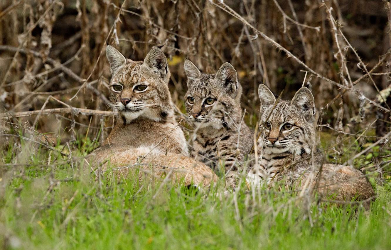 Обои котята, Рысь, детёныши, дикая кошка. Кошки foto 10