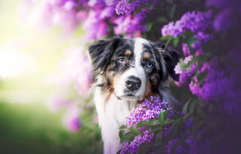 Фото обои взгляд, морда, собака, сирень, боке, Австралийская овчарка