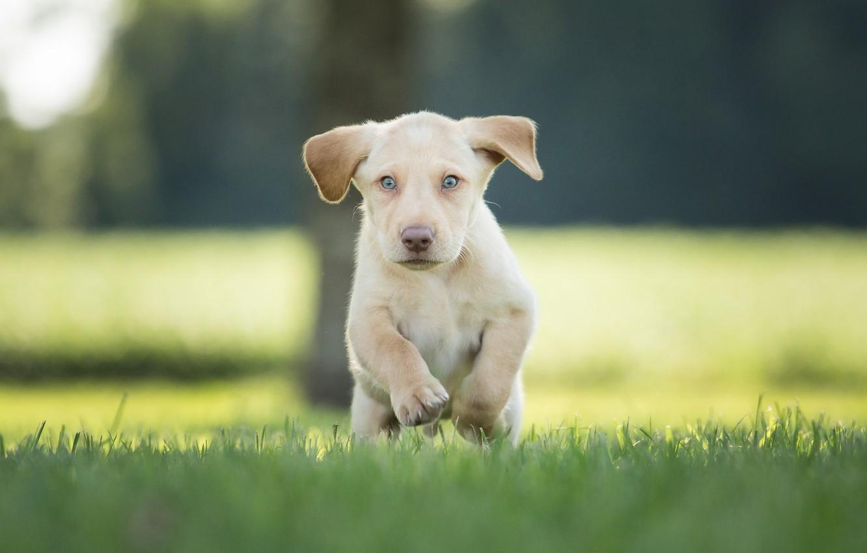 Фото обои трава, щенок, прогулка, боке, пёсик