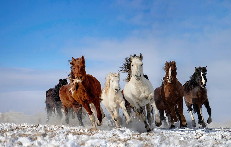 Фото обои небо, снег, лошади, табун