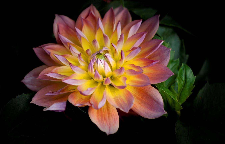 Фото обои цветок, природа, лепестки, георгина